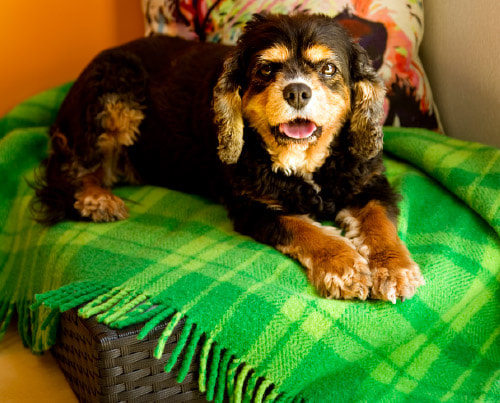 King Charles Cavalier Spaniel, Cavalier, Golden Oldies